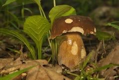 Boletus edulis nel fungo commestibile della foresta Immagini Stock Libere da Diritti