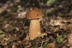 Boletus edulis nel fungo commestibile della foresta Fotografie Stock Libere da Diritti