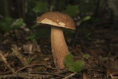Boletus edulis nel fungo commestibile della foresta Fotografia Stock