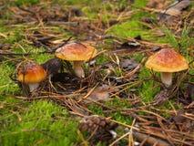 Boletus edulis nella foresta di autunno Immagine Stock