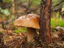 Boletus edulis nella foresta di autunno Immagini Stock Libere da Diritti