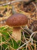 Boletus edulis nella foresta di autunno Fotografie Stock Libere da Diritti