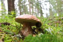 Boletus edulis (penny bun, porcino, cep) Stock Photo