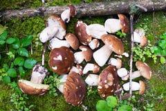 Boletus edulis or penny bun or porcino or porcini mushroom on th Stock Photos