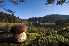 Boletus edulis, porcini in the bog, Vosges, France Stock Photo