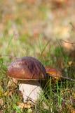 Boletus edulis. A porcino,cep,peeny bun or in látin boletus edulis Stock Image