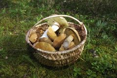 Boletus edulis and Suillus variegatus are in a wicker basket. Royalty Free Stock Images