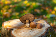 The boletus edulis on the three trunk Royalty Free Stock Photography