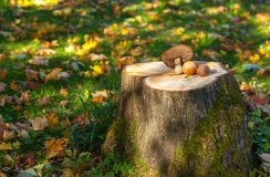 The boletus edulis on the three trunk Stock Images