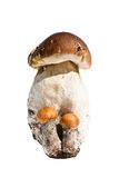 Boletus edulis and two Leccinum aurantiacums Royalty Free Stock Photography