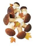 The boletus edulis  on white Stock Image