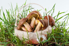 Boletus edulis and white in a basket in green grass Stock Photography