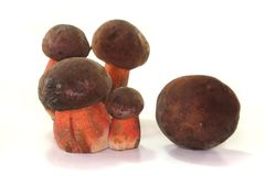 Boletus erythropus Royalty Free Stock Images