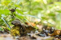 Boletus erythropus Royalty Free Stock Images