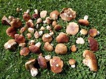 Boletus essbar - essbarer Pilz Stockbilder