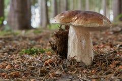 Boletus essbar Pilz in der natürlichen Umwelt Stockfotos