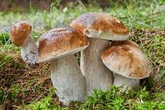 Boletus essbar Pilz in der natürlichen Umwelt Lizenzfreie Stockbilder