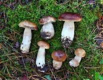 Boletus-essbare Pilze Stockfotos