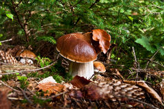 Boletus family Royalty Free Stock Images
