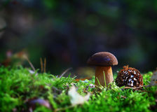 Boletus with fir cones Stock Images