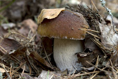 Boletus in the forest. Boletus edulis growing in the woods among leaves Stock Photography