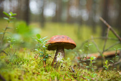 A boletus in the forest Stock Photos