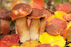 Boletus in forest Royalty Free Stock Images