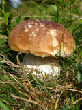 Boletus in grass Stock Photography