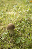 Boletus. Boletus growing in city park in grass in end of Latvian summer Stock Photography