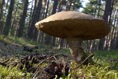 Boletus Growing in Forest Stock Image