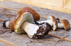 Boletus growing in the forest. Royalty Free Stock Image