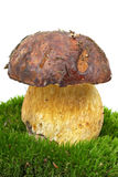 Boletus growned on the moss Royalty Free Stock Photography