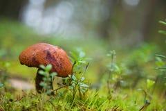 Boletus i skogen Arkivbilder