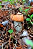 Boletus im Wald lizenzfreie stockbilder