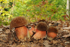 Boletus luridiformis fungus, known as the dotted stem bolete Stock Images