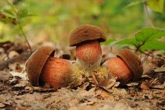 Boletus luridiformis fungus, known as the dotted stem bolete. Boletus luridiformis, formerly known as Boletus erythropus, commonly known as the dotted stem Royalty Free Stock Image