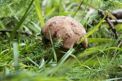 Boletus Luridus (mushroom). Mushroom in the grass (Boletus luridus Royalty Free Stock Image