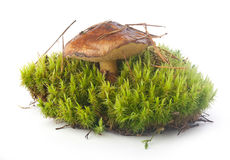 Boletus luteus in the moss Royalty Free Stock Photos