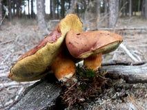 Boletus marrone del fungo sul ceppo in foresta, badius del boletus Immagini Stock Libere da Diritti