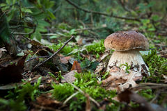 Boletus mashroom Stock Photo