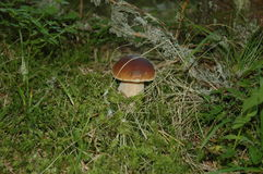 Boletus mashroom. In forest on moss royalty free stock photography