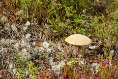 Boletus mushroom Royalty Free Stock Photos