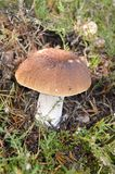 Boletus mushroom. Hidden in the moss Stock Images