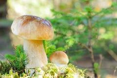 Boletus mushroom Stock Photos