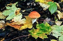 Boletus mushroom   in autumn forest. Stock Image