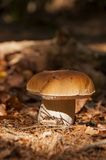 Boletus mushroom in the autumn forest Royalty Free Stock Images