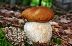 Boletus mushroom Royalty Free Stock Photography