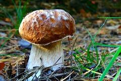Boletus mushroom Stock Image