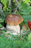 Boletus mushroom in the grass Royalty Free Stock Images