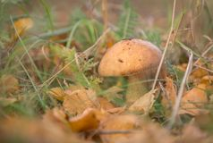 Boletus mushroom among green grass and yellow leaves. Boletus mushroom among green grass in the forest. Near the fallen dry yellow leaves. The season is autumn stock image
